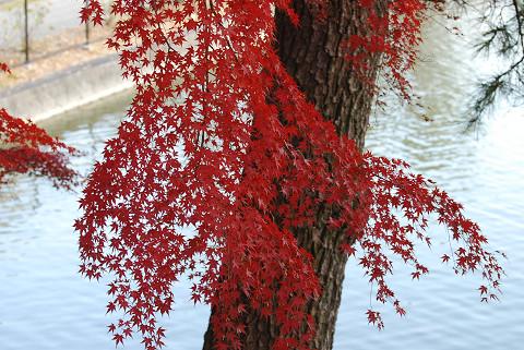 イロハモミジ紅葉が美しい