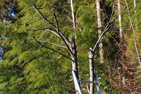 カツラの木伐採