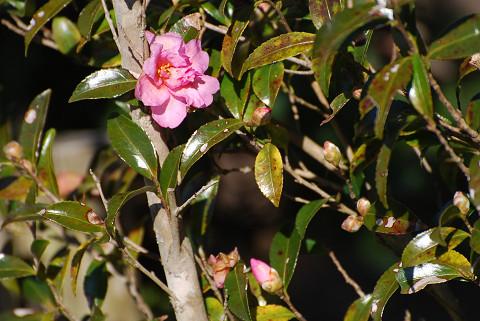 ピンク色のサザンカの花