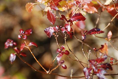 バイカツツジのきれいな紅葉