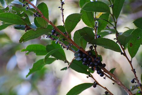 ヒサカキの黒い実が枝下に