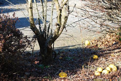 カリンの木と実が