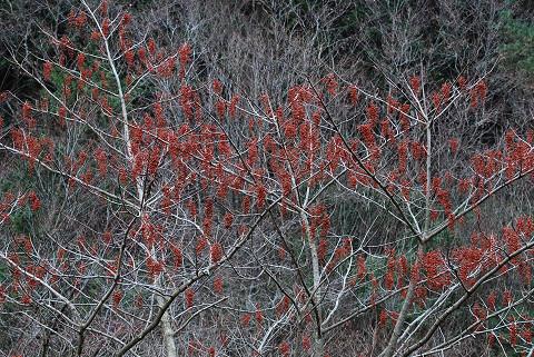 イイギリの赤い実がいっぱい