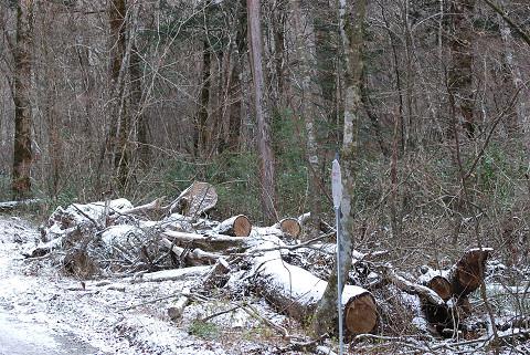 雪をかぶった斬られた巨木
