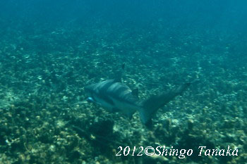 タオ島、サメ