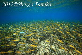 タオ島、ダイビング、ヒメアイゴ