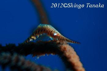タオ島、ダイビング、ゴルゴニアンシュリンプ