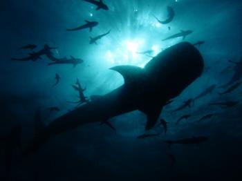 タオ島、ダイビング、ジンベエザメ