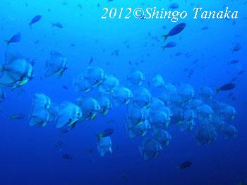 タオ島、ダイビング、ツバメウオ