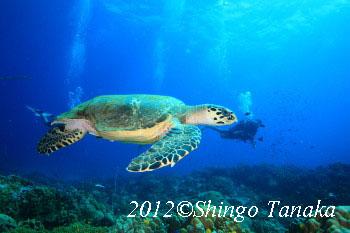 タオ島、カメ、亀