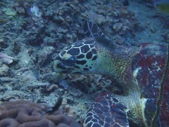 タオ島、ダイビング、カメ