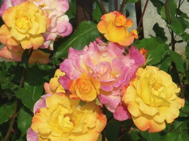 色が混じったバラ