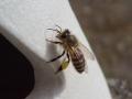 蜜蜂CIMG2850