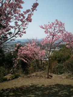 2013/3/30 桜