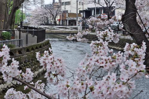 広瀬川の桜