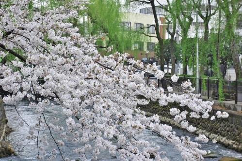 広瀬川の柳と桜