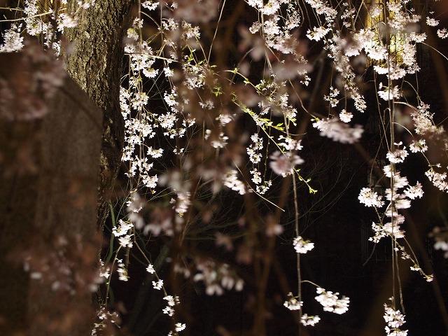 s-平成24年春 枝垂桜