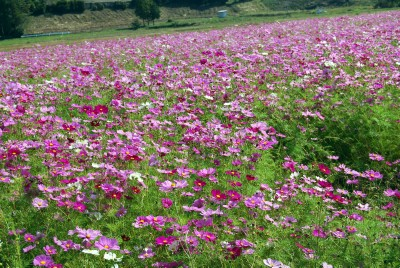 kosumosu_20121026185452.jpg