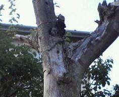 20120723こげら幼鳥2