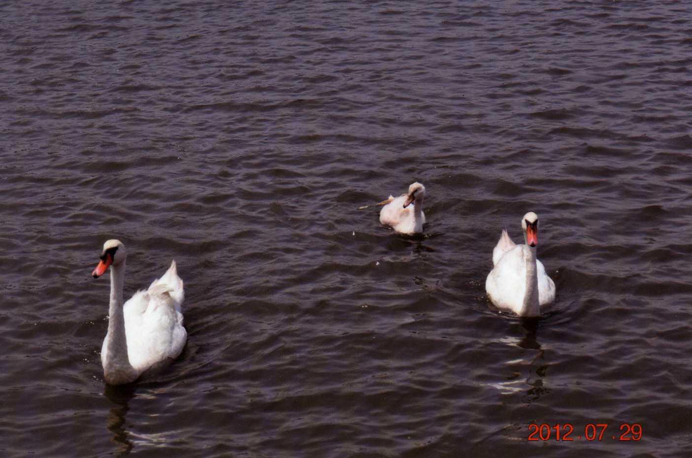 20120729将監川白鳥1