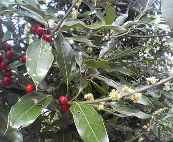 20121111藪ニツケイの実と雌花