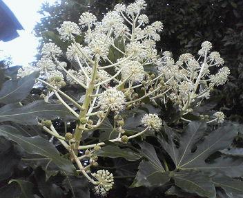 20121111八手の花