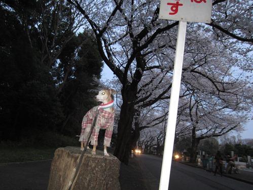 0327夜桜_04