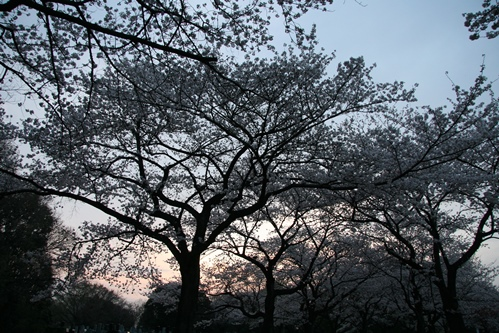 0327夜桜_07