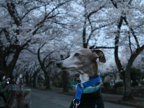 0327夜桜_08