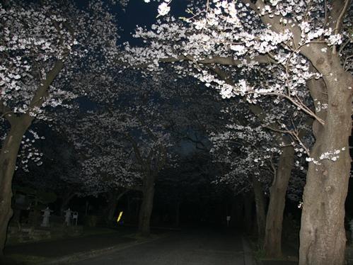 0327夜桜_10