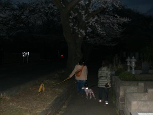 0327夜桜_11