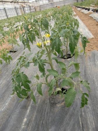 ミニトマト定植後