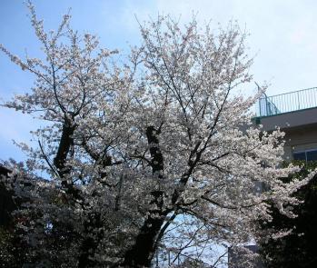 三橋公民館の桜♪