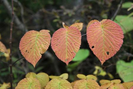 ブナ立尾根は紅葉に包まれる