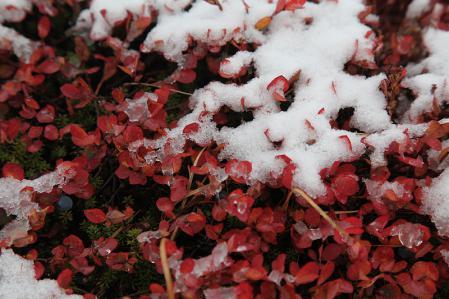 赤いクロマメノキに白い初雪