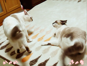 姉妹猫の静かな闘争