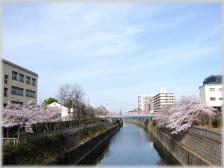 桜景色 (2)