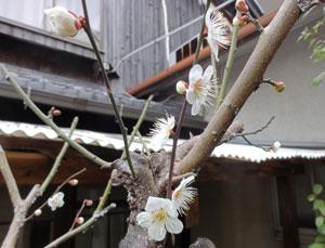 3月3日白梅blog01