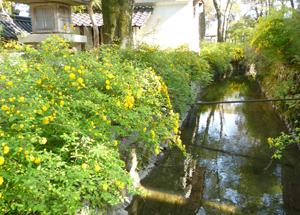 松尾神社山吹blog04
