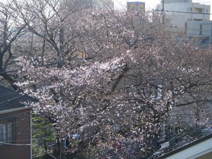 2013桜2