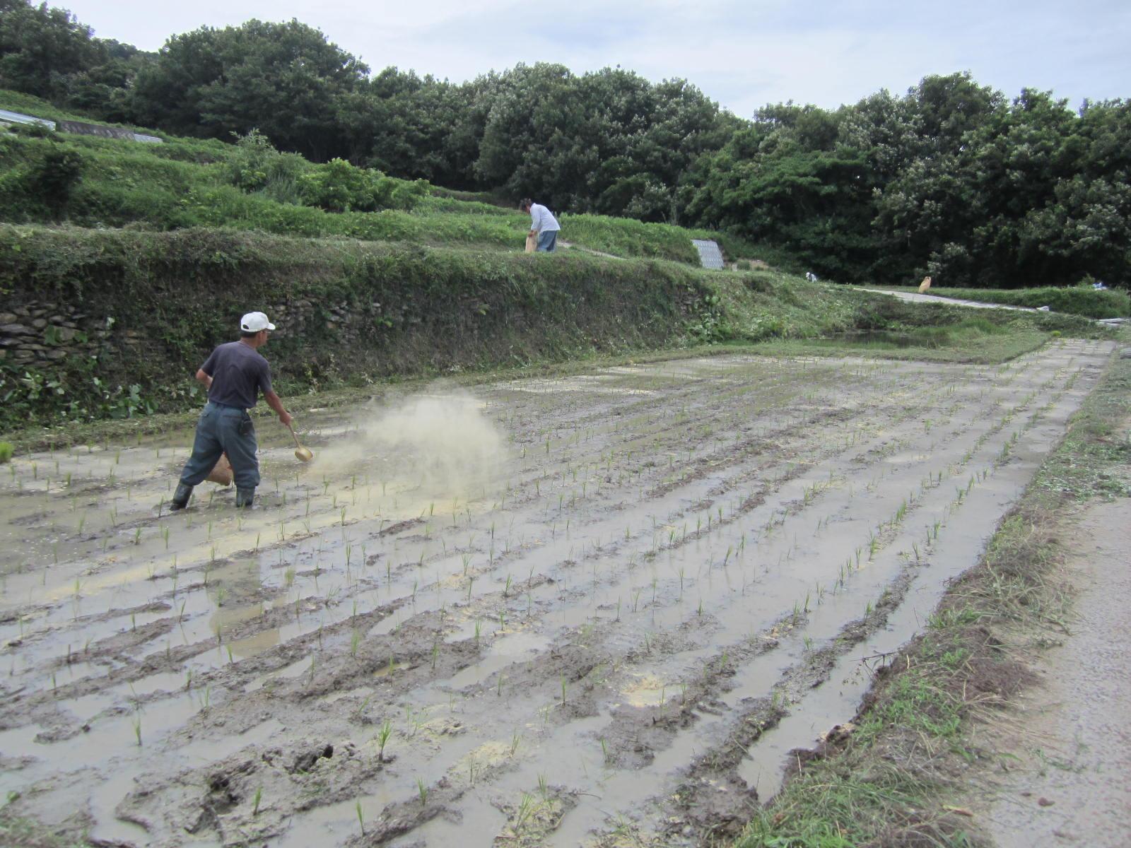 豊島での米ぬかふり