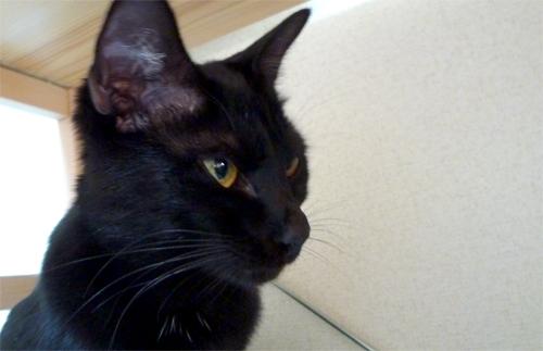 黒猫チョコ