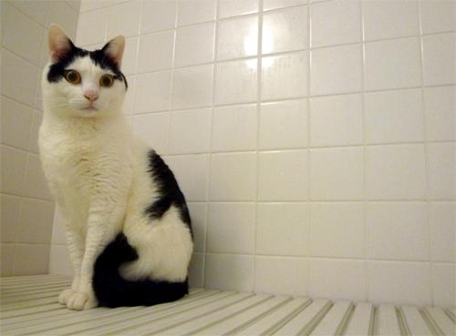 白黒猫ちっぷ