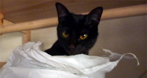 ビニール袋から顔だす猫