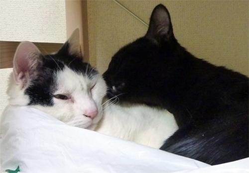 白黒猫を舐める黒猫