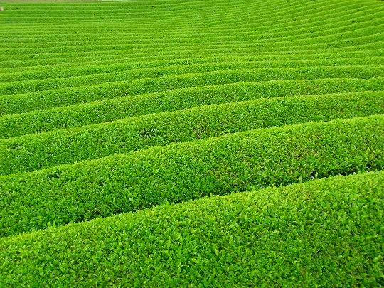 120522茶畑-2