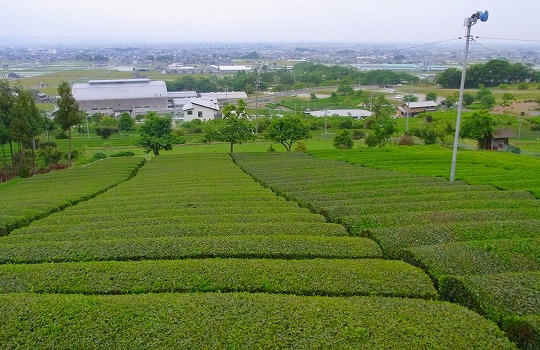 120522茶畑-1