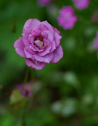 120518ミニバラ紫
