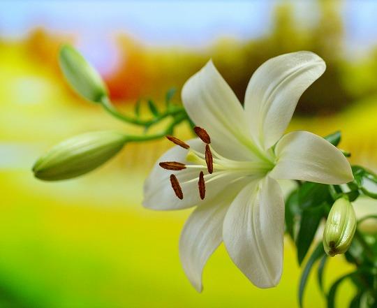120616スカシユリ切り花-1
