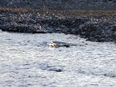 鮭ペアリング